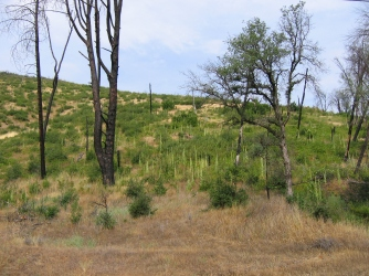 Common mullein spreading after a wildfire