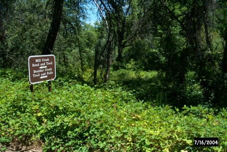 Dense Himalaya blackberries choke the understory of this creek-side forest