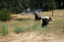 The brutal work of meticulously pulling and bagging yellow starthistle—a job only for isolated areas, such as here within the park headquarters